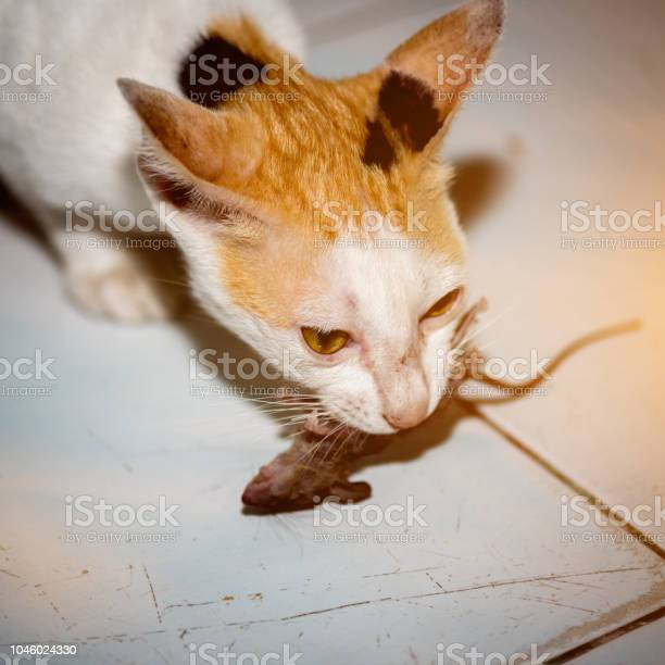 Cat playing and catch a rat picture id1046024330?b=1&k=6&m=1046024330&s=612x612&h=affge85obzqd3vytyb4rjoehyxijqhttvg  wonpcso=