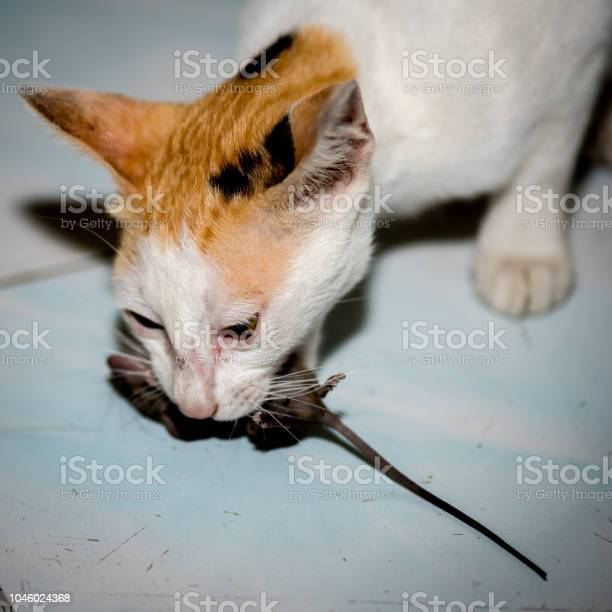 Cat playing and catch a rat picture id1046024368?b=1&k=6&m=1046024368&s=612x612&h=folddsxv9h4ot9p43gr3ho4mt94qpzw9brp39zjzrlq=