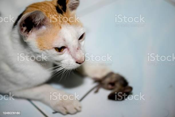 Cat playing and catch a rat picture id1046026160?b=1&k=6&m=1046026160&s=612x612&h=1zqlh6f7apq j43vnrj4b6hvaefdb6zilqqjruclxdk=