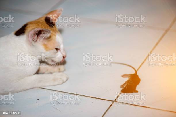 Cat playing and catch a rat picture id1046026538?b=1&k=6&m=1046026538&s=612x612&h=naynedmjmklmnmijx1snxxnajmh5daseizsjimnzzdw=