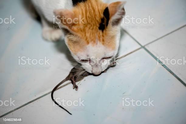 Cat playing and catch a rat picture id1046026548?b=1&k=6&m=1046026548&s=612x612&h=yy2xrh0v5d6dqah8vubnylmnarvvyepnjxpu5qlr9gu=
