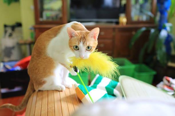 Cat playing have fun on the coach picture id1168699791?b=1&k=6&m=1168699791&s=612x612&w=0&h=9yjwbqbod9rddugefcbnbuq43uqnvxn iaqy18vdpaa=