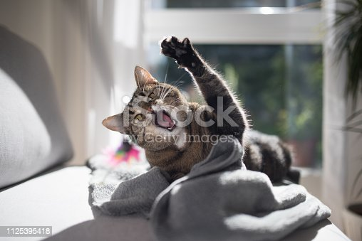 tabby domestic shorthair cat playing with a cat's toy on gray couch
