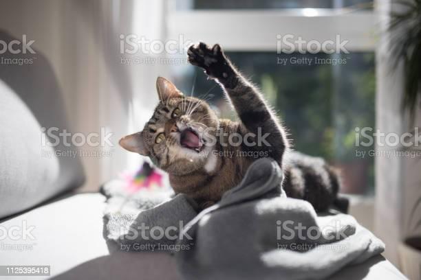 Cat playing on sofa picture id1125395418?b=1&k=6&m=1125395418&s=612x612&h= pnn9ouvbxxkpymyn2zod0ozgqgcigi tjw8bqm32uk=