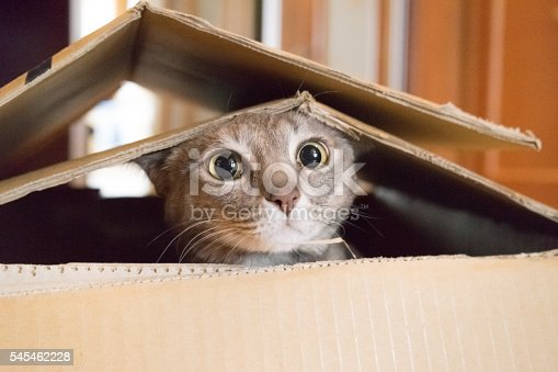 istock Cat playing Peek a Boo in a box 545462228
