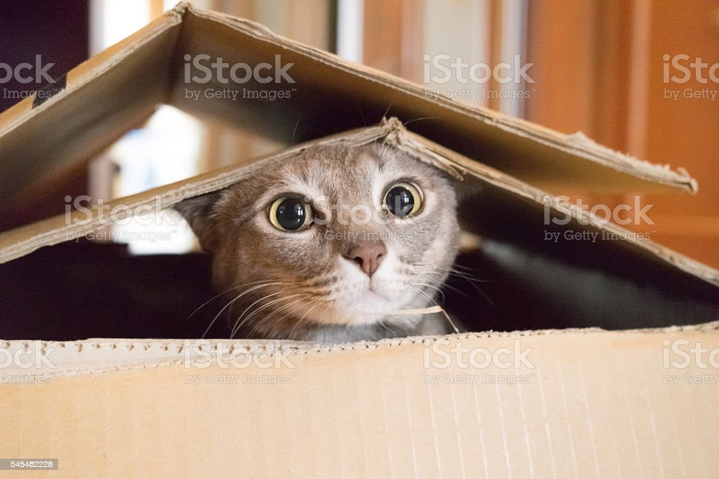 Cat playing Peek a Boo in a box stock photo
