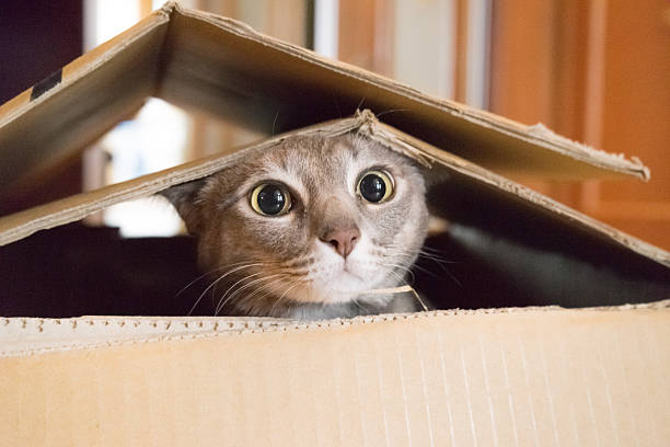 cat playing peek a boo in a box - cute stock pictures, royalty-free photos & images
