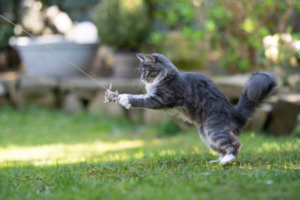 Cat playing picture id1149117342?b=1&k=6&m=1149117342&s=612x612&w=0&h=5lxj4hfvxde rnstc3 ueveqniqoep2ih6hdozt6ceq=