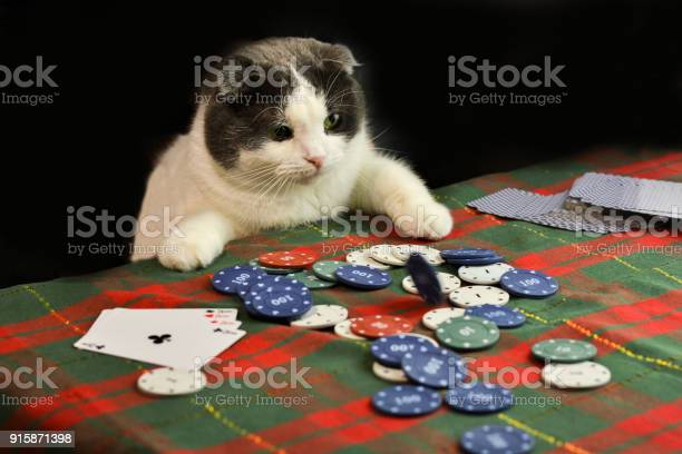 Cat playing poker picture id915871398?b=1&k=6&m=915871398&s=612x612&h=pqqrwloazcwcsq4utp jvjc2ts5vnpfcvpi8z6wleey=