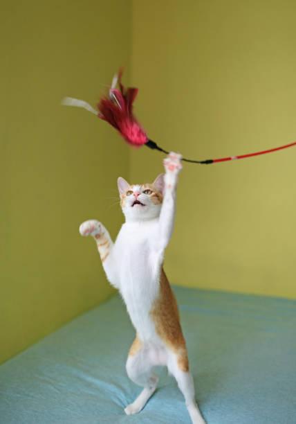 Cat playing teaser picture id913969784?b=1&k=6&m=913969784&s=612x612&w=0&h=opr8y6rnugl7kb 7igaidn5uafvedy4uua2fg0qt0oc=