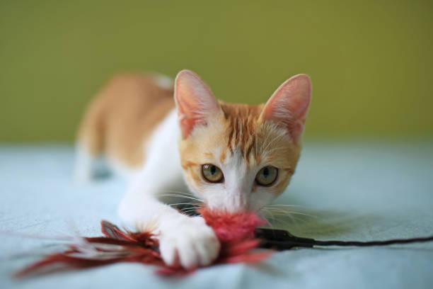 Cat playing time picture id922304338?b=1&k=6&m=922304338&s=612x612&w=0&h=h4jbekhc v2q1n6mcovfh 7sk8dan o7tnxi2zkiea4=