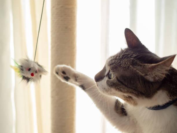 Cat playing with a toy picture id1216063221?b=1&k=6&m=1216063221&s=612x612&w=0&h=2lncqdcycj1c4t3pxu53v1tg1owildovdiwttfbhwrs=