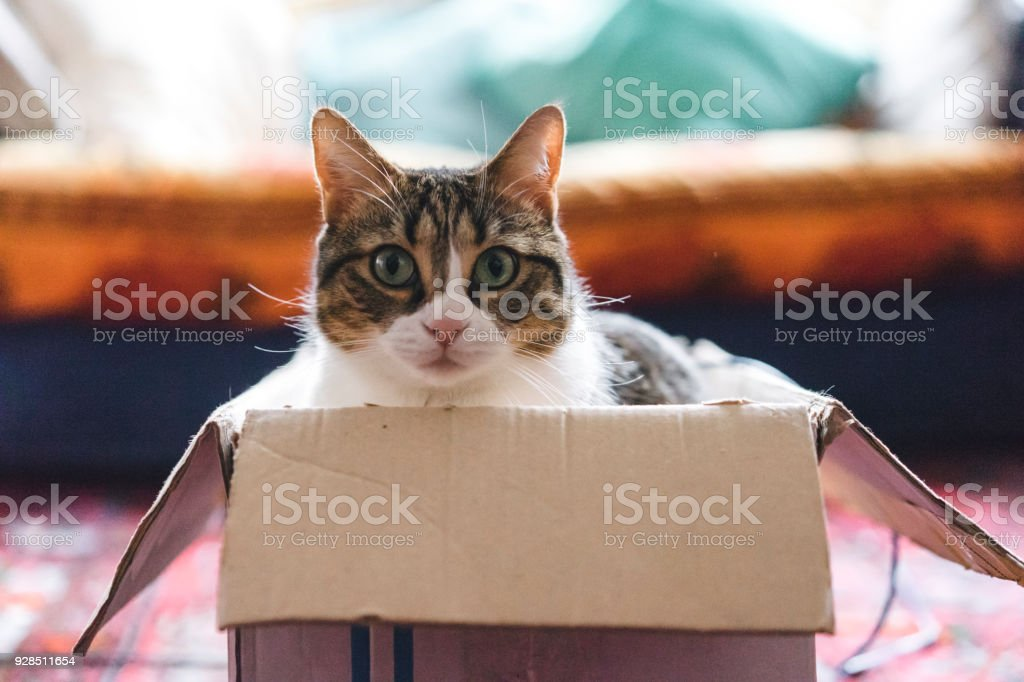 Cat playing with boxes and toys stock photo