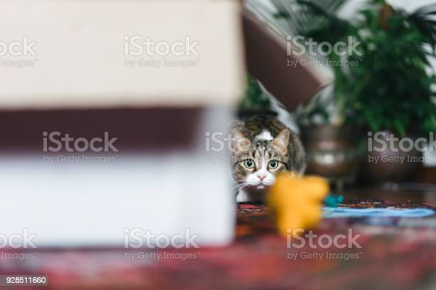 Cat playing with boxes and toys picture id928511660?b=1&k=6&m=928511660&s=612x612&h=ekoqcmhepzbx80gj6cio4oucuklyz8gpcpyz g3qyw4=