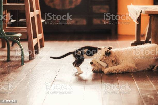 Cat playing with dog in dining room picture id843772254?b=1&k=6&m=843772254&s=612x612&h=q7fbydp0yrxg2lagz1 ynfusiatfr6qz8ajhqpnlcz0=