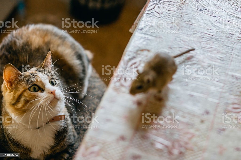 Cat playing with little gerbil mouse on the table. Natural stock photo