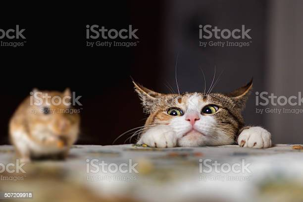Cat playing with little gerbil mouse on the table.  Russia.