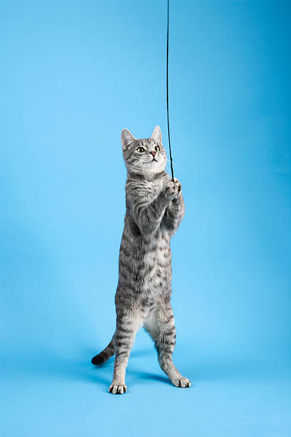 Cat playing with string picture id145903177?b=1&k=6&m=145903177&s=612x612&w=0&h=tjh893lil2opgyu9f izqd6 d 96lfn gfnc6hqnqay=