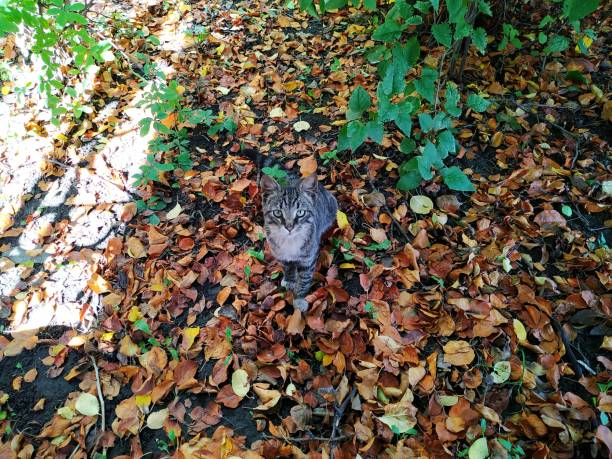 Cat plays on yellow foliage in the fall picture id1188920036?b=1&k=6&m=1188920036&s=612x612&w=0&h=dmfhxlcosz3ovuykmbb4zrhv6ctbkwkingrdiv8g8jy=
