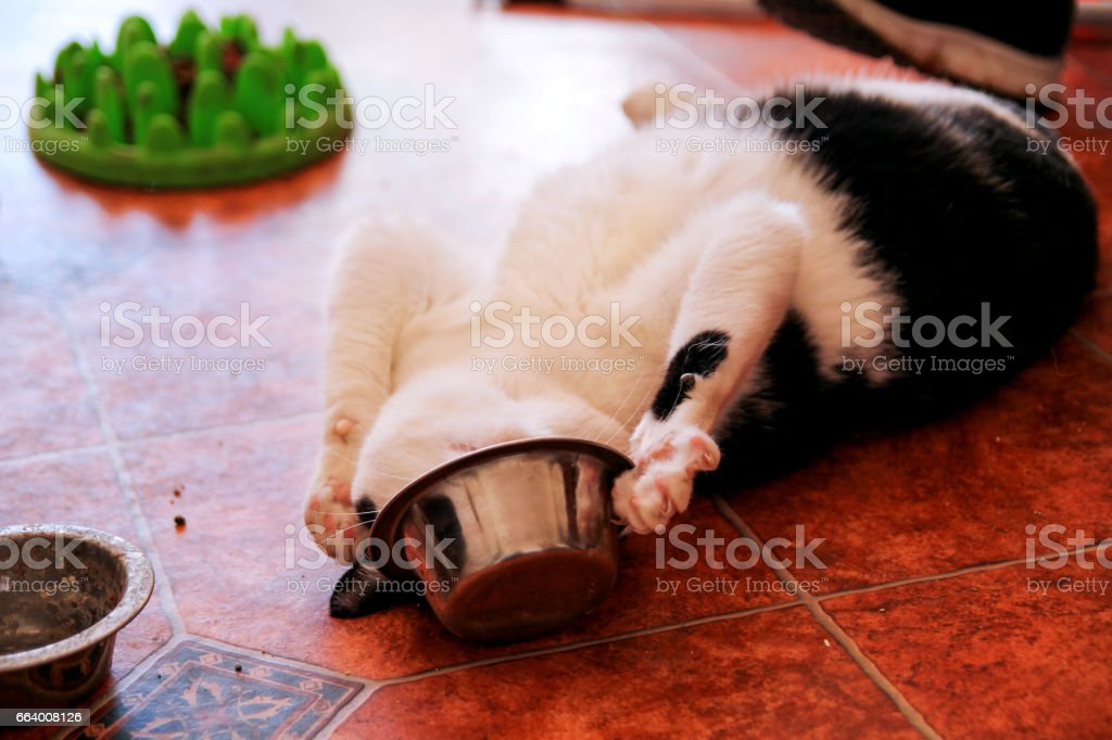 Cat plays with his food bowl. Cute little house cat. Pet animals. Domestic animals. stock photo