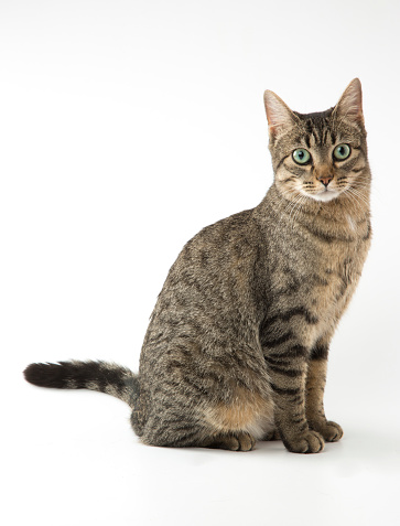 Mixed-breed cat on white background. Studio shot. Copy space. Front view.