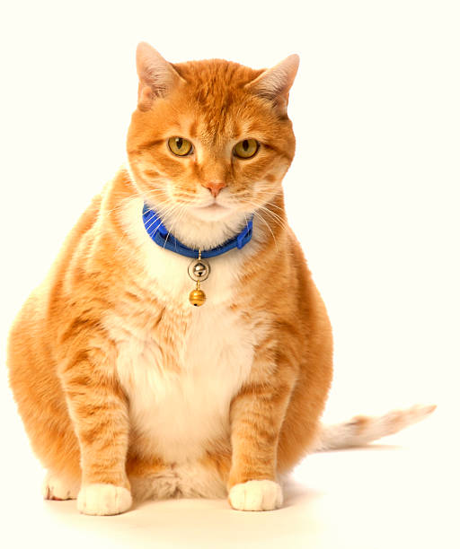 Cat Portrait Fat cat with bells undomesticated cat stock pictures, royalty-free photos & images