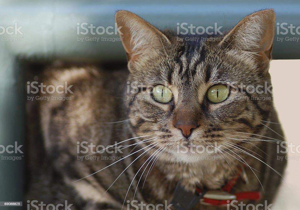 Retrato de gato foto de stock libre de derechos