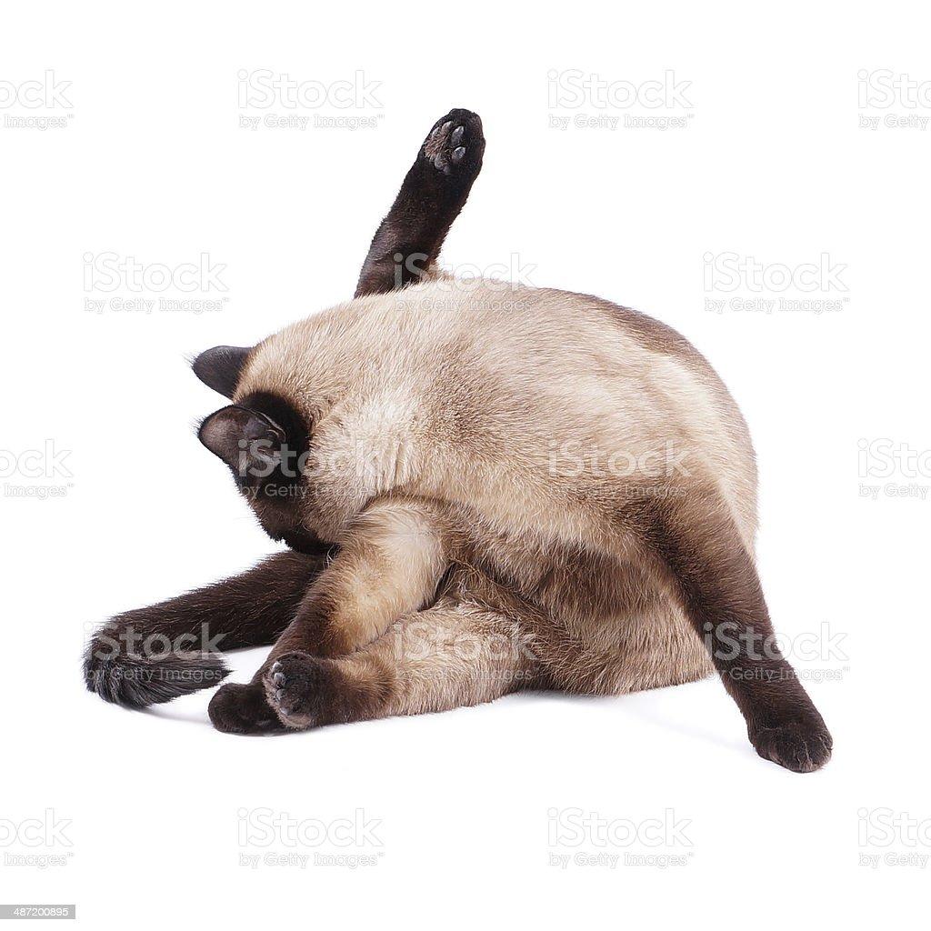 cat preening stock photo