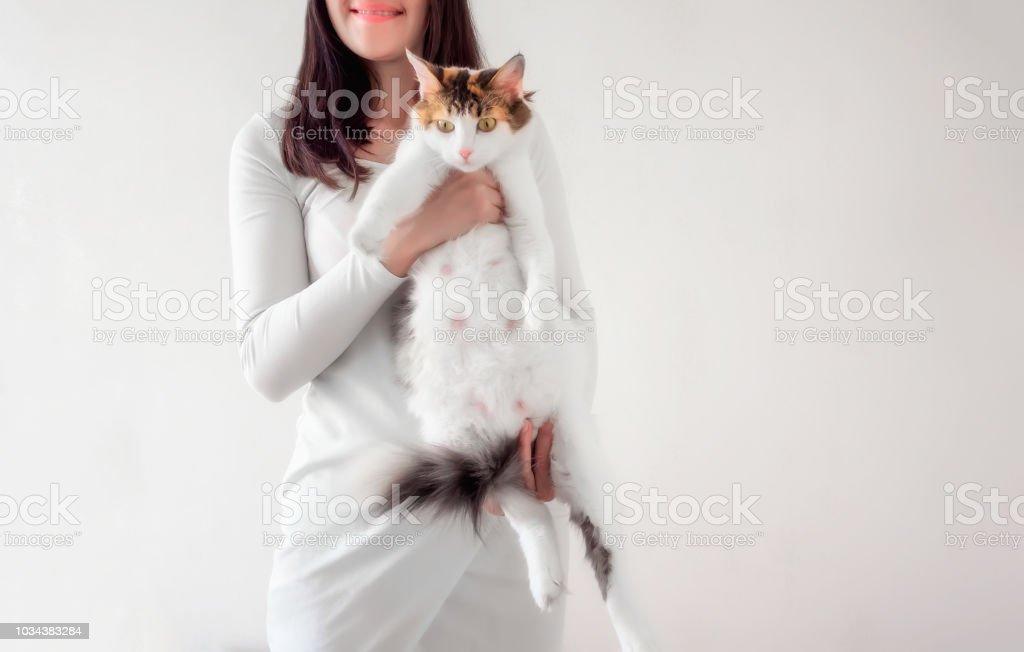 Gato del embarazo. Gato calico embarazada con gran barriga, imposición de manos femeninas. - foto de stock