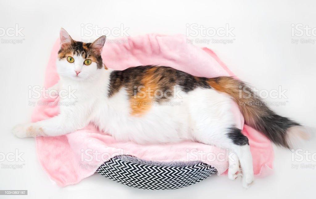 Gato del embarazo. Gato calico embarazada con la barriga grande puesta en la tela rosa mirando a cámara. Fondo blanco aislado - foto de stock