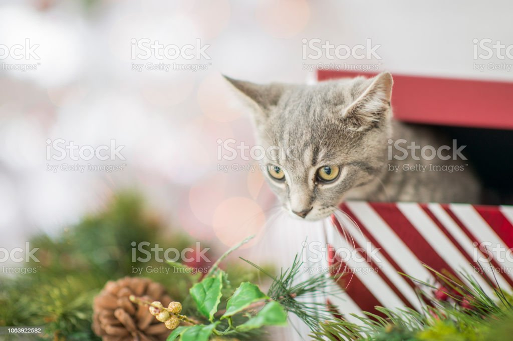 A cat is peering out of a partially-opened Christmas gift box. A...