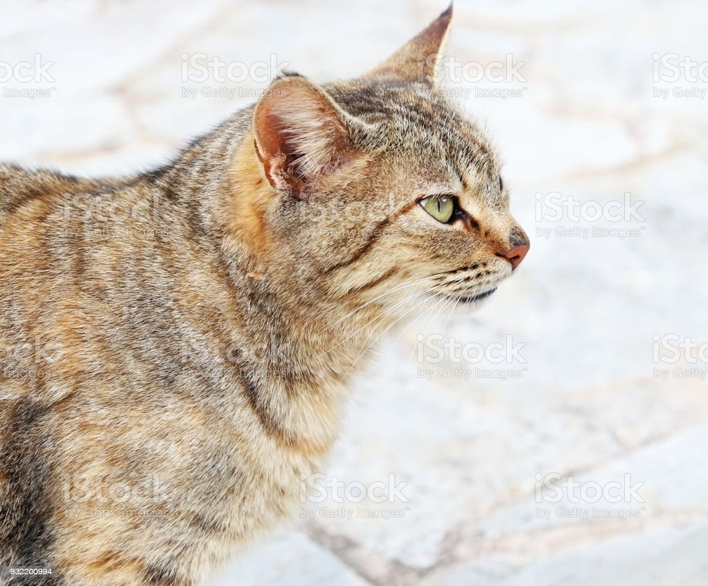 cat profile with green eyes - grey cat sitting on the pavement stock photo