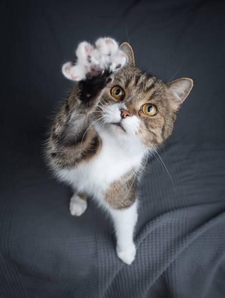 cat raising  paw stock photo