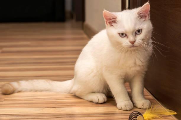 Cat rare breed white with light blue eyes scottish british picture id1196574626?b=1&k=6&m=1196574626&s=612x612&w=0&h=fg nvlxlfussyh tlurozvendpajj17ewrp5i6wxxle=