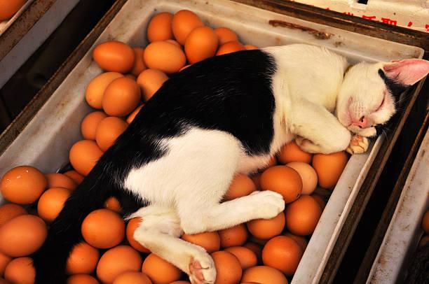 Cat relaxing on fresh eggs for sale at a market picture id480830880?b=1&k=6&m=480830880&s=612x612&w=0&h=33xl86nmsgxj42vjuwg yq2z 2pgxe8e3svumbnogdu=