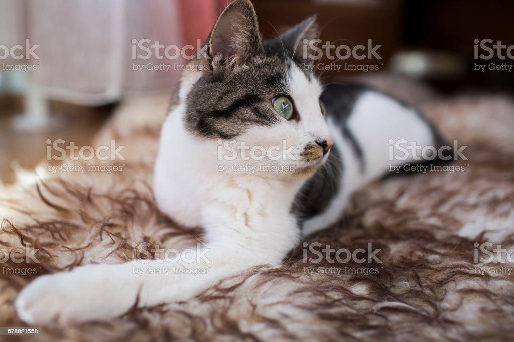 cat relaxing on the carpet photo libre de droits
