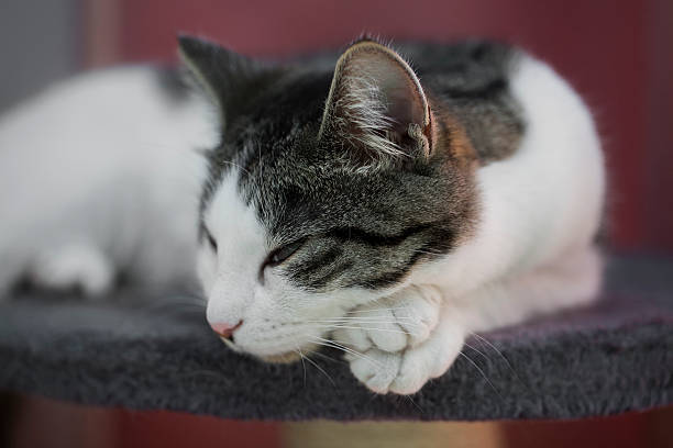 Cat relaxing on the cats plush house picture id528956746?b=1&k=6&m=528956746&s=612x612&w=0&h= opw38 ek19yvs2f0ca92ublot1z2mr4qndjyyjhdjo=