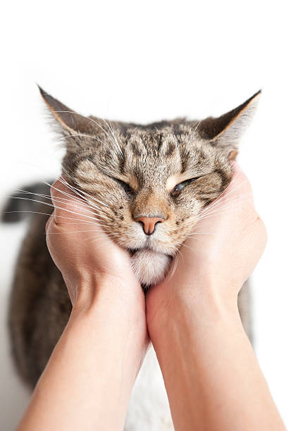 Cat resting head in owners hands