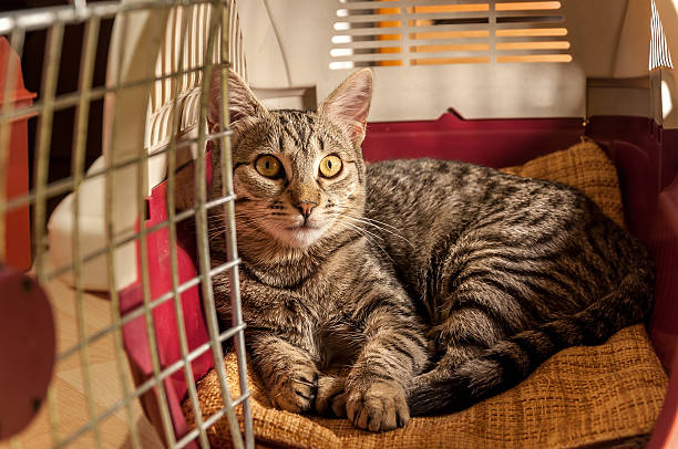 cat resting in a pet carrier - carrying stock pictures, royalty-free photos & images