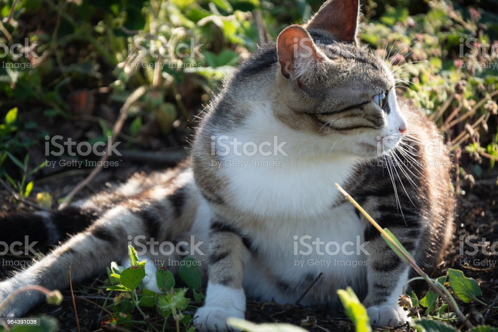 Gato descansando na grama ao pôr do sol - Foto de stock de Animal royalty-free