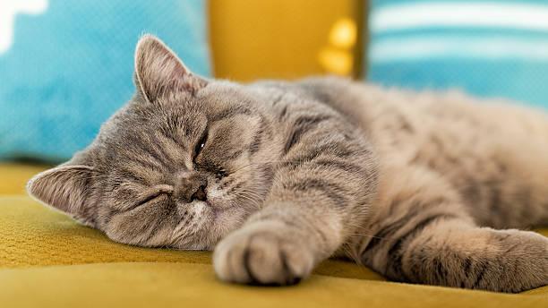 Cat resting on couch picture id629386870?b=1&k=6&m=629386870&s=612x612&w=0&h=k21sroccxsu stas08yo  ujxmf0ejktgxb1jmu1soc=