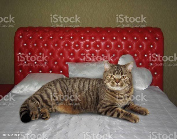 Cat rests on a double bed picture id1014351898?b=1&k=6&m=1014351898&s=612x612&h=jxooq3f60mzlagodadziy41k6gm52tzwa4 onaxp9fc=