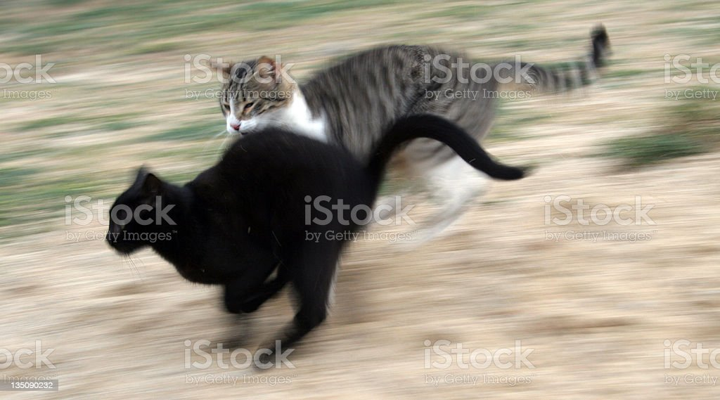 Cat running and attacking another feline stock photo