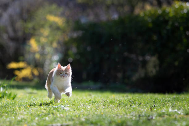 Cat running picture id1149117336?b=1&k=6&m=1149117336&s=612x612&w=0&h=1ttiyw5ccn3m0xizpiujsyqzmhvay sec9cq6a5by9c=