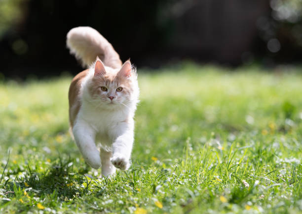 Cat running picture id1149117986?b=1&k=6&m=1149117986&s=612x612&w=0&h=q crq34qpesskgevs9dhrurqtcqr2ne1j9kpkiotu68=