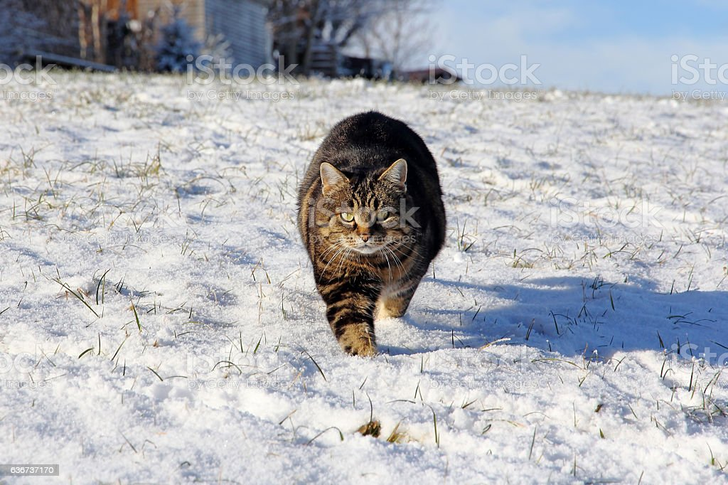 cat runs relaxed and curious through the snow stock photo