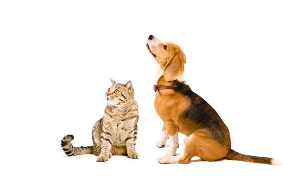Cat scottish straight and beagle dog picture id1153903215?b=1&k=6&m=1153903215&s=612x612&w=0&h=yzybwsyxr0nqpqijxpcijpg3jxetbjxt88kbdoczkru=