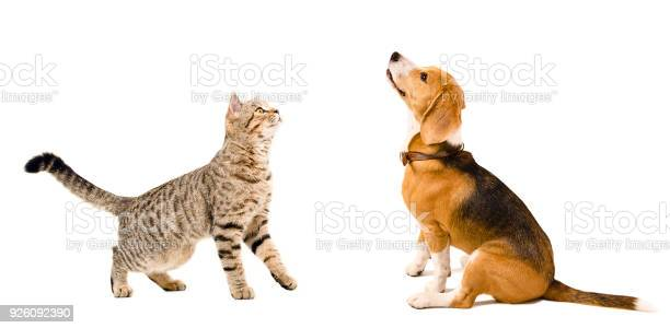 Cat scottish straight and beagle dog picture id926092390?b=1&k=6&m=926092390&s=612x612&h=nkbsonoi bgqt9fsayfzvvfgjntg3dgi43kplvs x c=