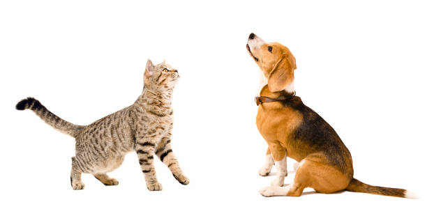 Cat scottish straight and beagle dog picture id926092390?b=1&k=6&m=926092390&s=612x612&w=0&h=rxggu0y9axrtytgun edscpaqzyh ybrglfcs2urx2a=