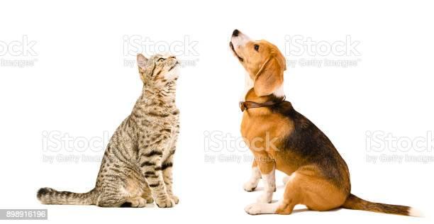 Cat scottish straight and beagle dog sitting together picture id898916196?b=1&k=6&m=898916196&s=612x612&h=vhachsgdhumbycit4gc1uxknhtgpekm6pnkzkfrkfhy=